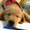 Assistance_Dog_in_Training_(12123319706)