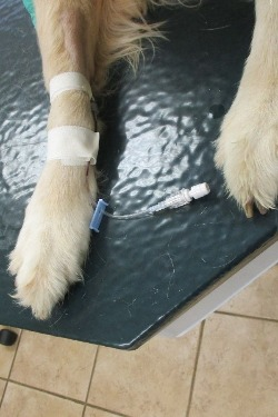 View of paws before chemo administration